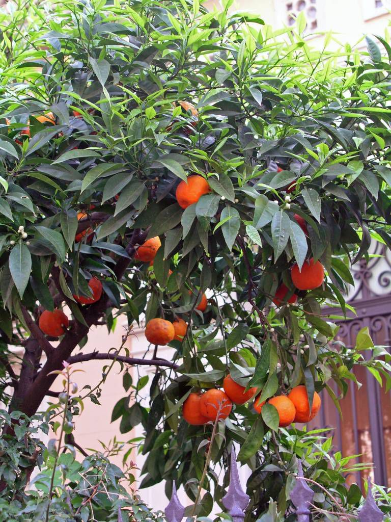 Barcelona, Orangenbäumchen in der Passatge Permaneyer