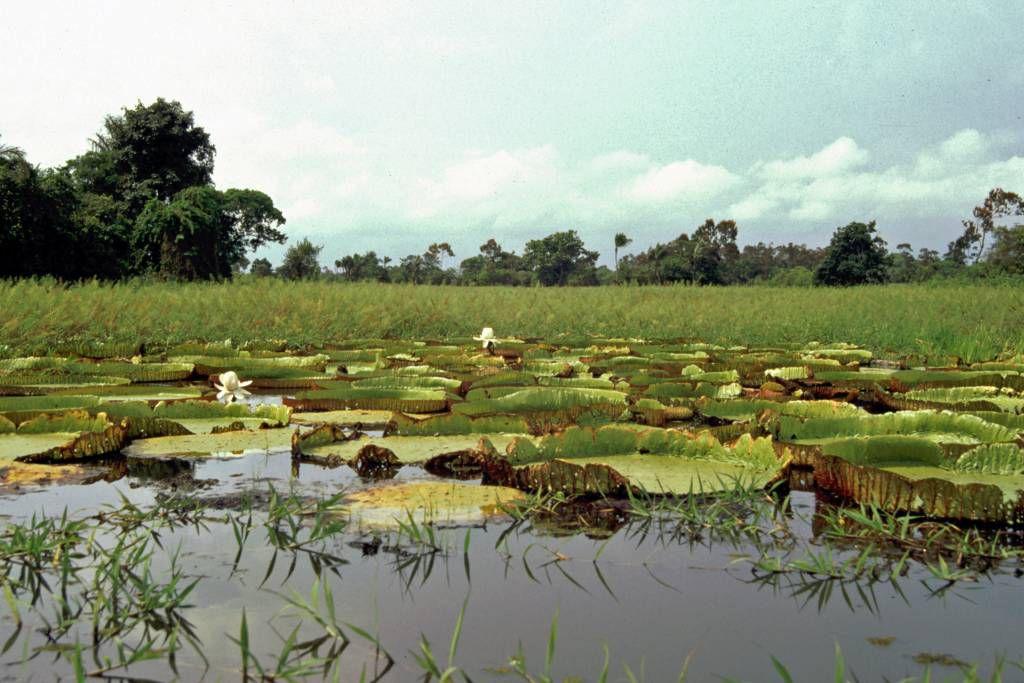 Seerosenblätter im Amazonas nahe Santarém