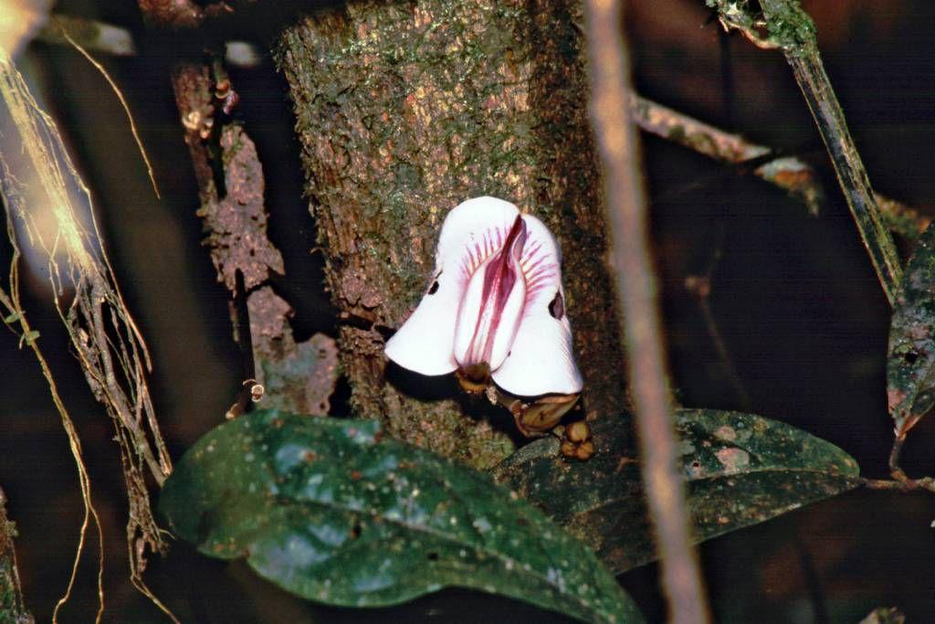 Orchidee im Regenwald 90 Km südlich Santarém