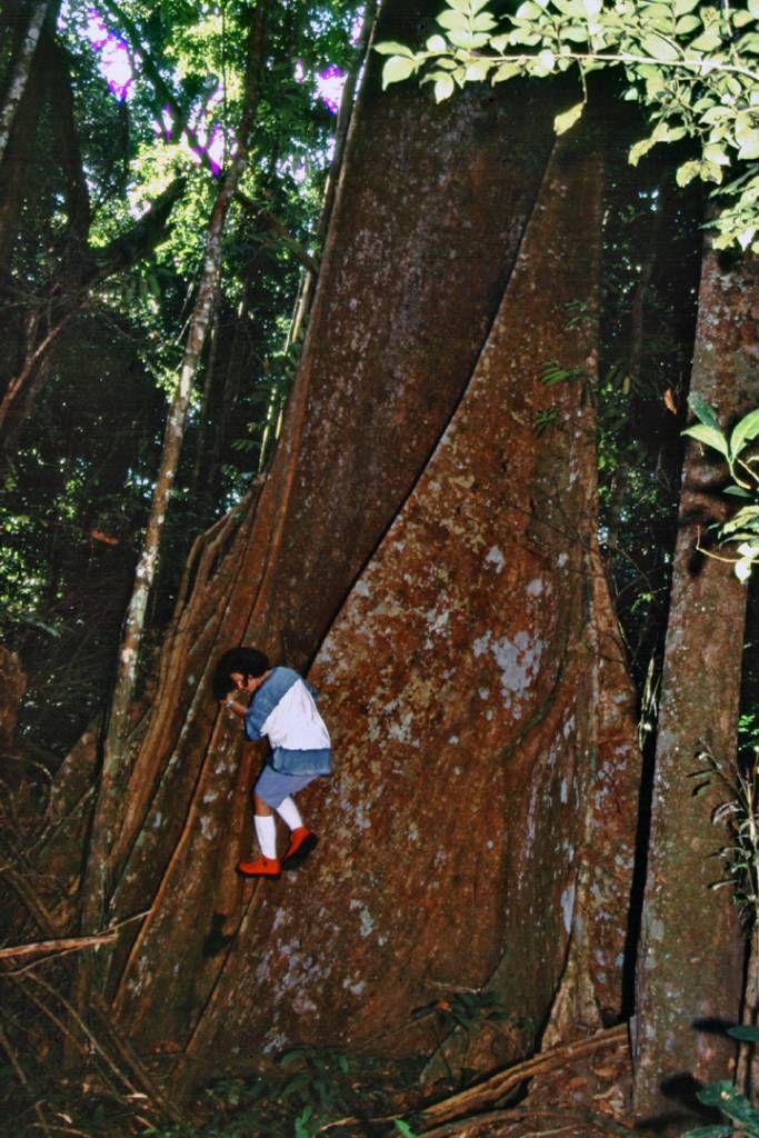 Ein Urwaldriese im Schutzgebiet 90 Km südlich Santarém