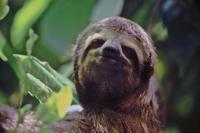 Im Zoo von Belém, Faultier