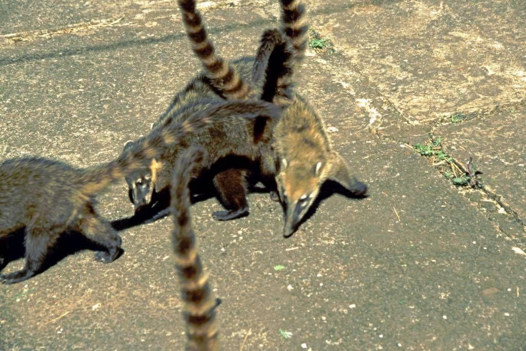 Iguazú Tierpark, Mungos