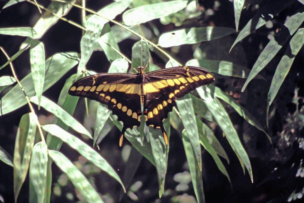 Iguazú Tierpark, Schmetterling