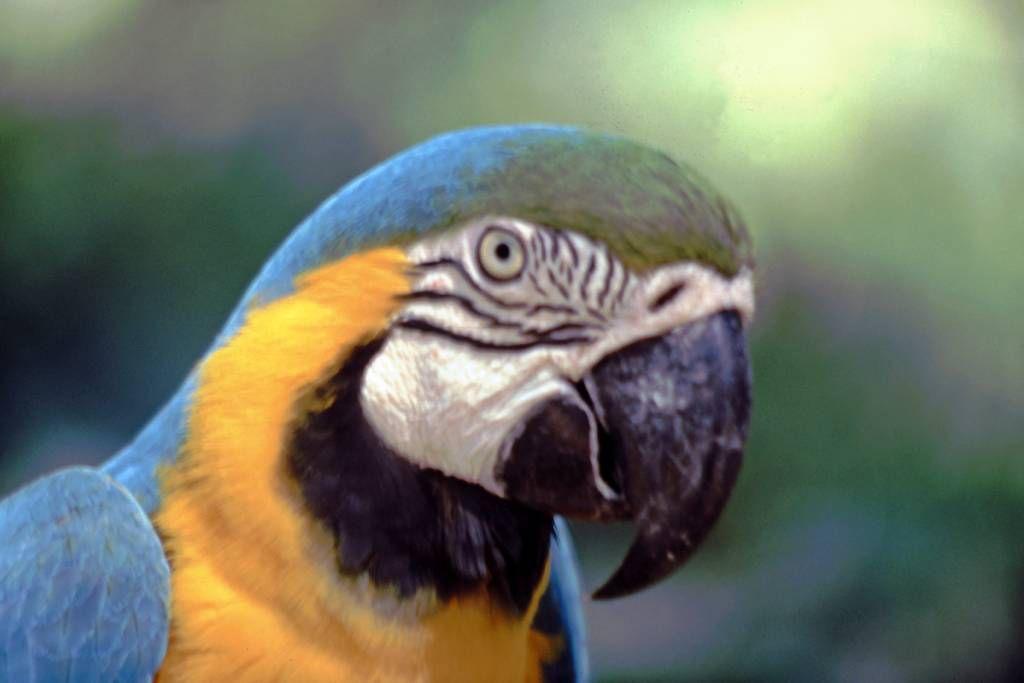 Iguazú Tierpark, Gelber Ara