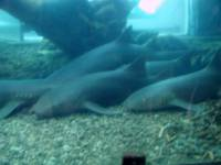 Santo Domingo, Haie im Aquarium