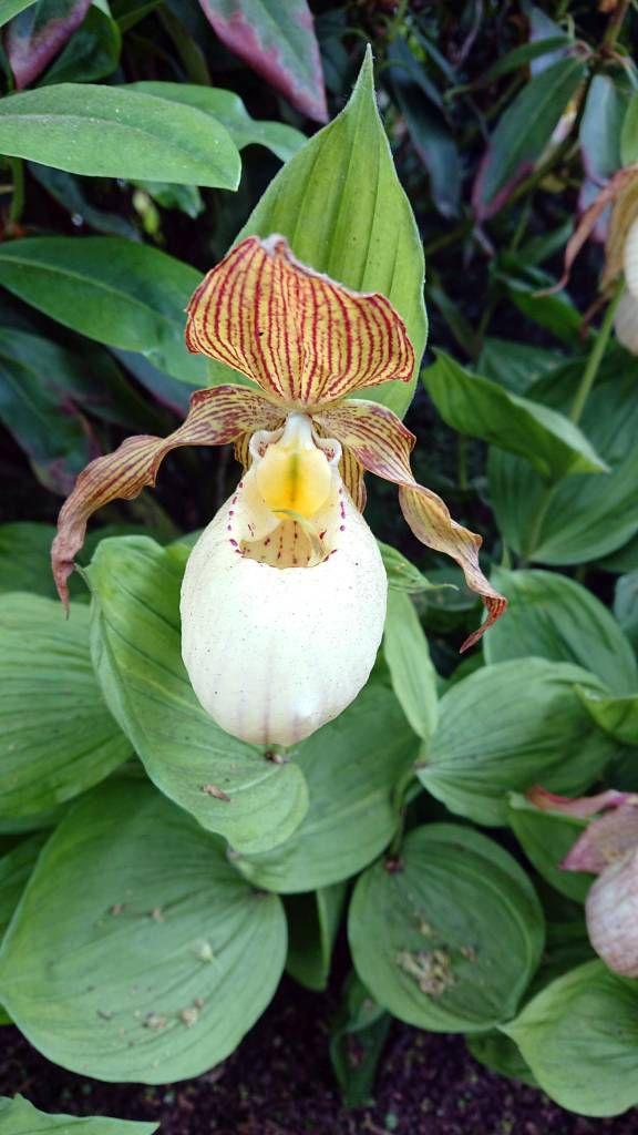 Étretat, Gärten von Étretat, Orchidee