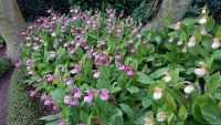 Étretat, Gärten von Étretat, Orchideen
