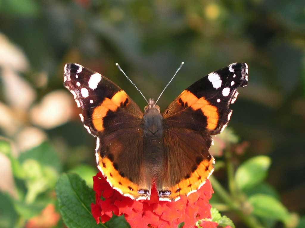 Schmetterling Im Großen Garten