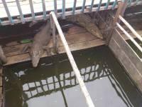 Siem Reap, Schwimmende Dörfer, Krokodile
