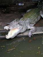 Siem Reap, Schwimmende Dörfer, Krokodil