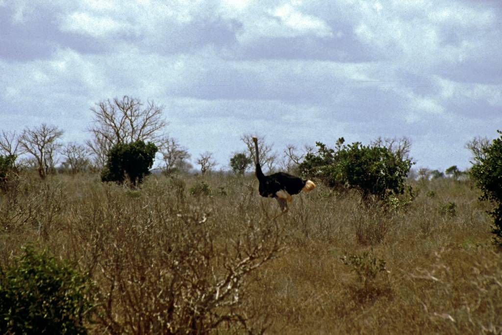 Tsavo Nationalpark, Strauß
