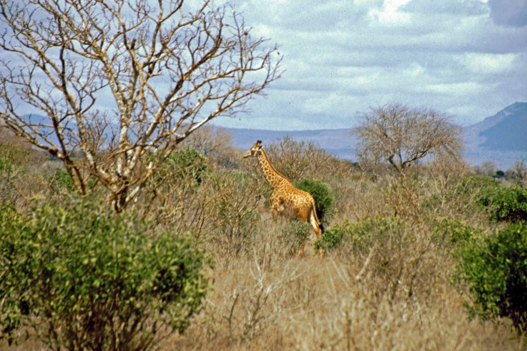 Tsavo Nationalpark, Giraffe