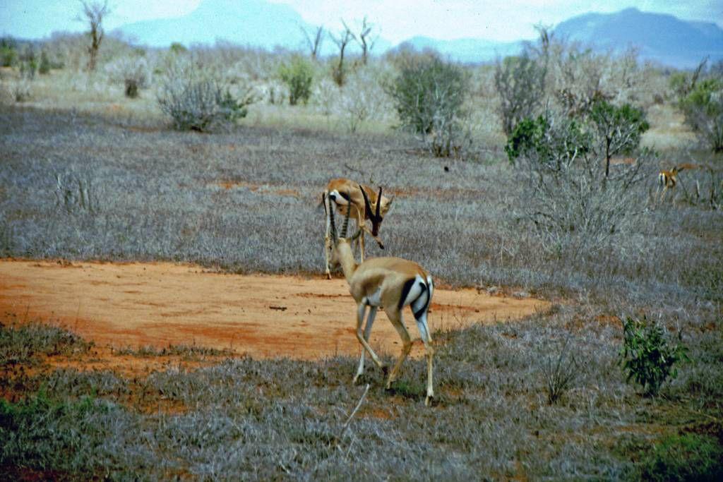 Tsavo Nationalpark, Gazelle