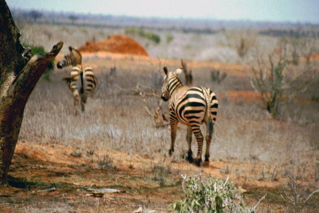 Tsavo Nationalpark, Zebra