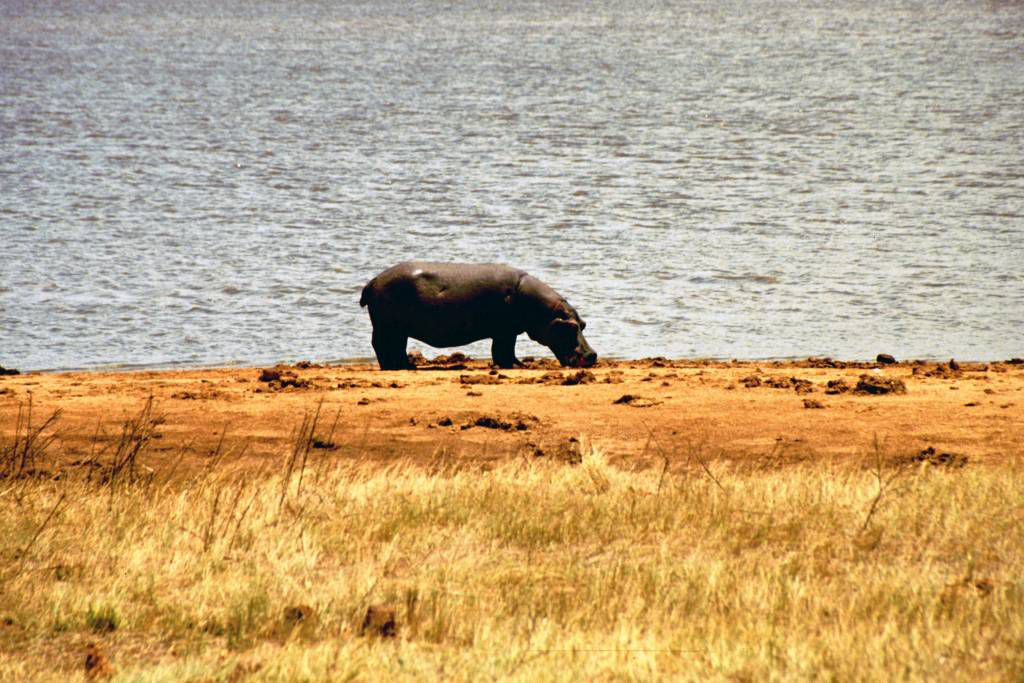 Tsavo Nationalpark, Nilpferd