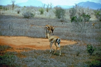 Tsavo Nationalpark, Gazelle