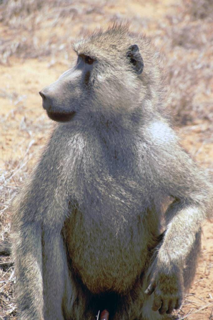 Tsavo Nationalpark, Affe