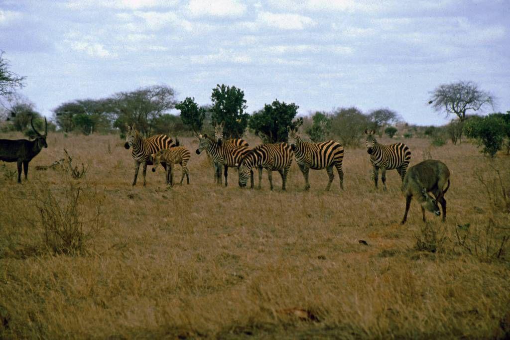 Tsavo Nationalpark, Zebras