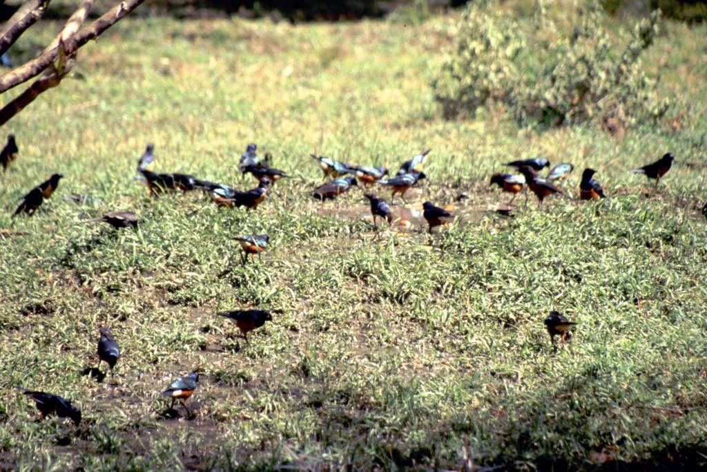 Amboseli Nationalpark, Kilamjaro Buffalo Lodge, Vögel