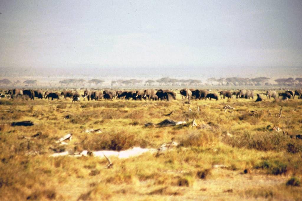 Amboseli Nationalpark, Elefanten