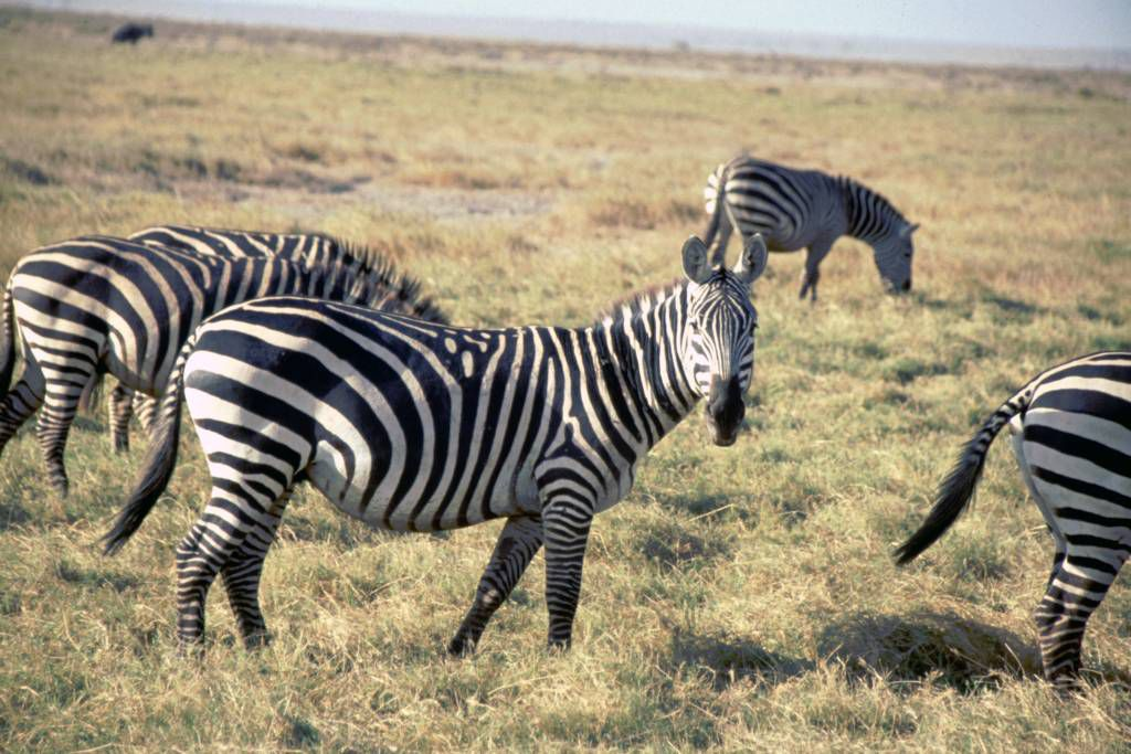 Amboseli Nationalpark, Zebras