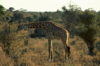 Taita Hills, Giraffe