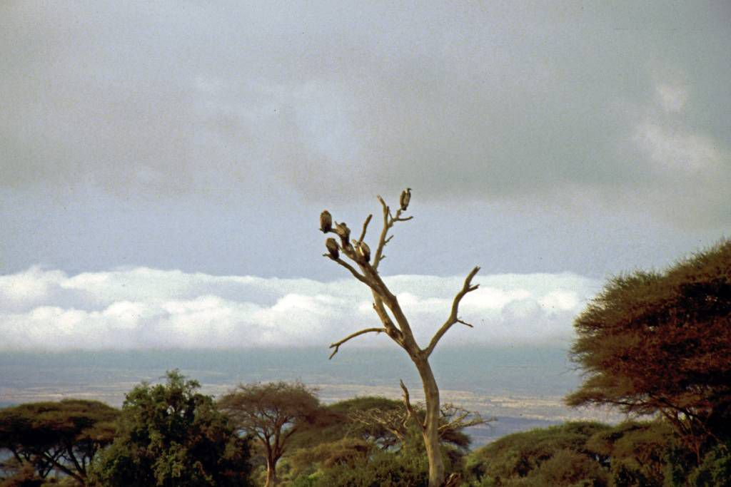 Amboseli Nationalpark, Geier