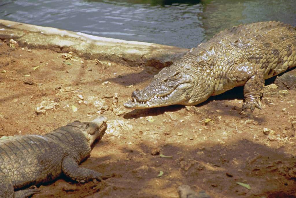 Mombasa, Nguuni Nature Sanctuary, Krokodil