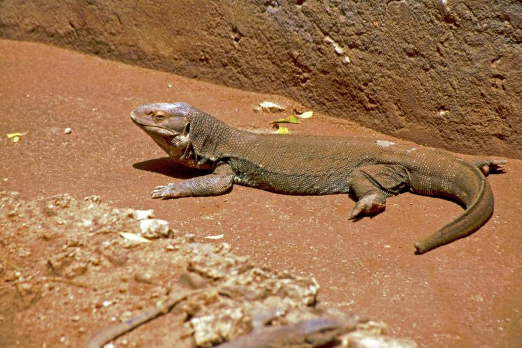 Mombasa, Nguuni Nature Sanctuary, Leguan