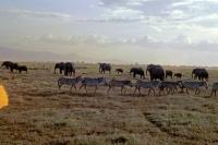Amboseli Nationalpark, Zebras und Elefanten