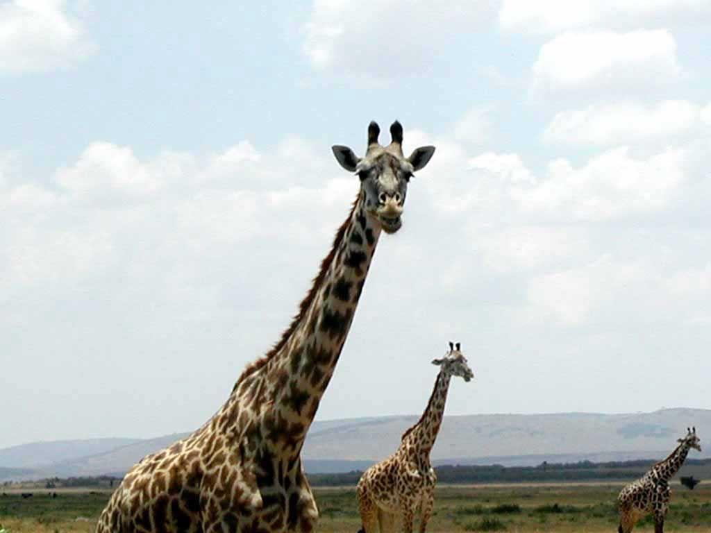 Giraffen im Amboseli