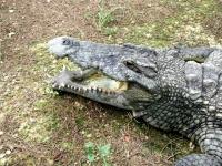 Krokodil bei der Pause