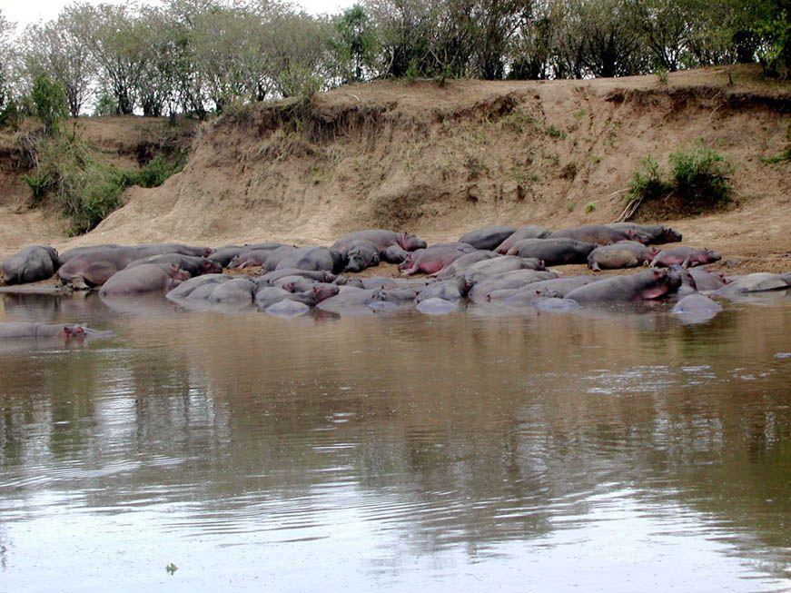 Flusspferde im Mara Fluss