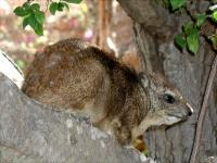 Ein Baumschliefer
