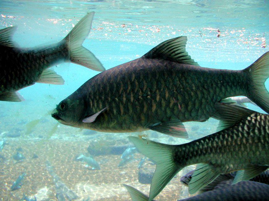 Fische in der Mzima Quelle
