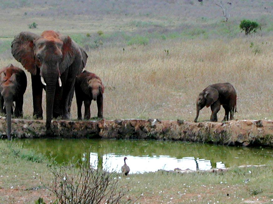 Elefanten an der Tränke der Kilaguni Lodge