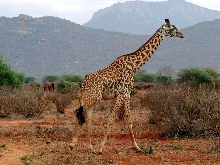 Giraffe in Tsavo West