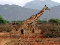 Giraffe in Tsavo West