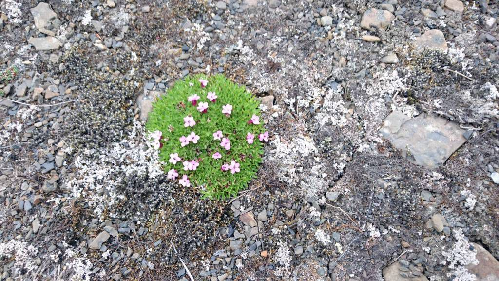 Spitzbergen, Longyearbyen, Pflanzen