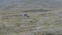 Spitzbergen, Longyearbyen, Rentier