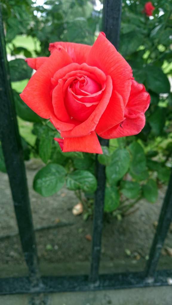 Schottland, Beauly, Rose