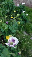 Grönland, Qaqortoq, Blumen