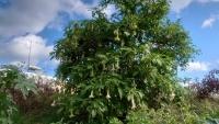 Rhodos, Altstadt, Engelstrompetenbaum