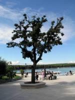 Insel  Kosljun, Baum