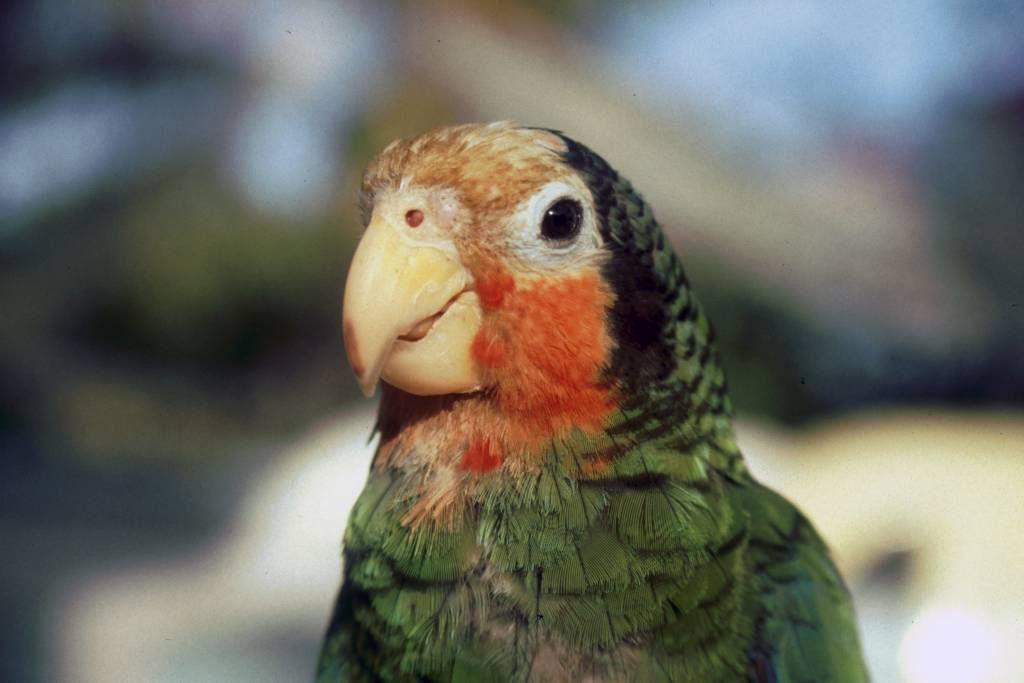 La Boca, Papagei