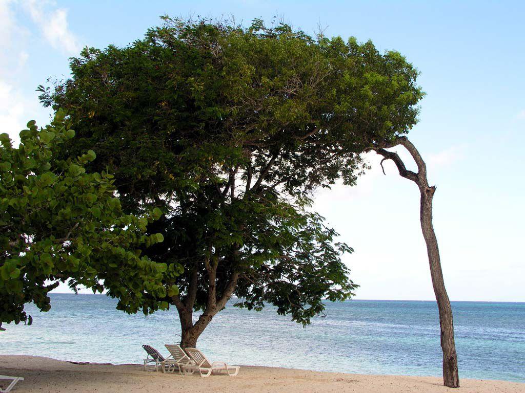 Mein Lieblingsbaum am Strand von Guardalavaca