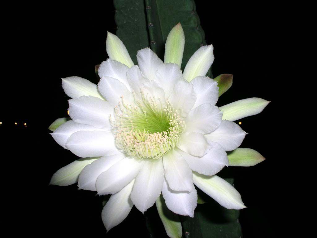 Eine Königin der Nacht im Garten des Hotels Las Brizas