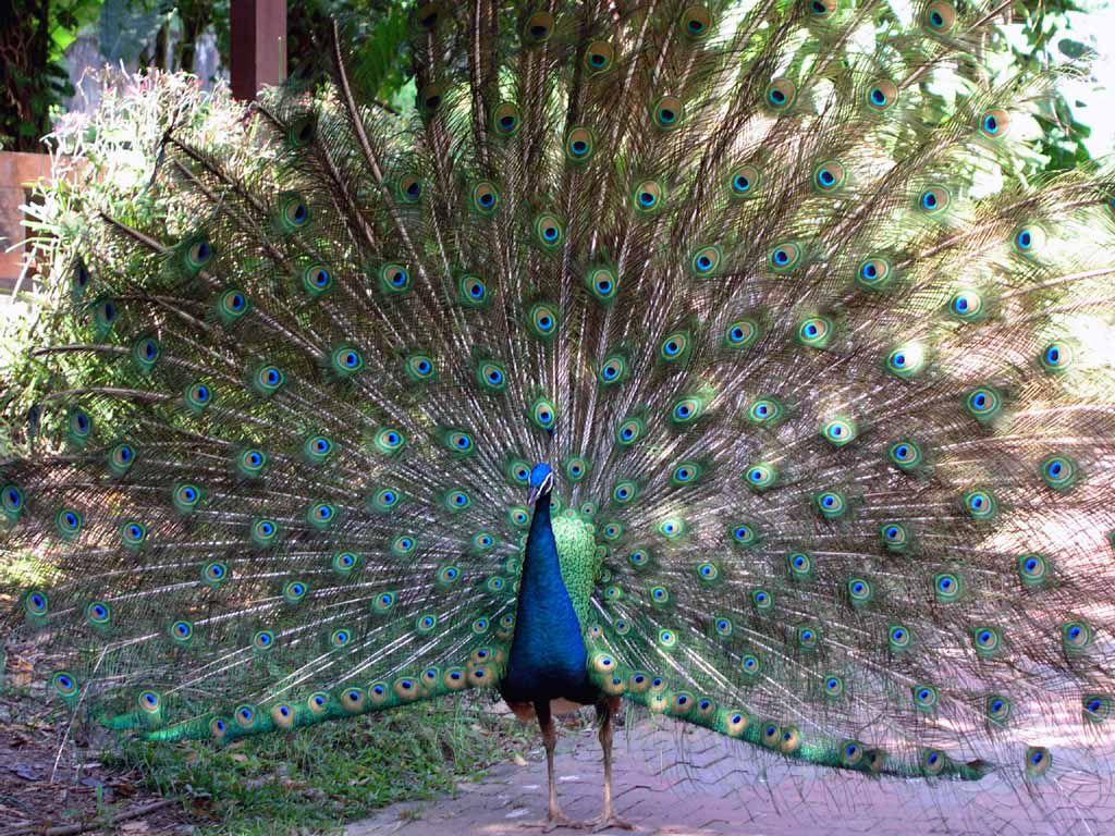 Pfau im Vogelpark von Kuala Lumpur