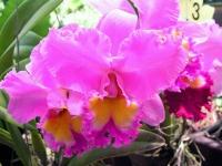 Orchidee im Orchideengarten von Kuala Lumpur
