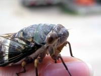 Wer schon immer mal wissen wollte, wie eine Zikade aussieht